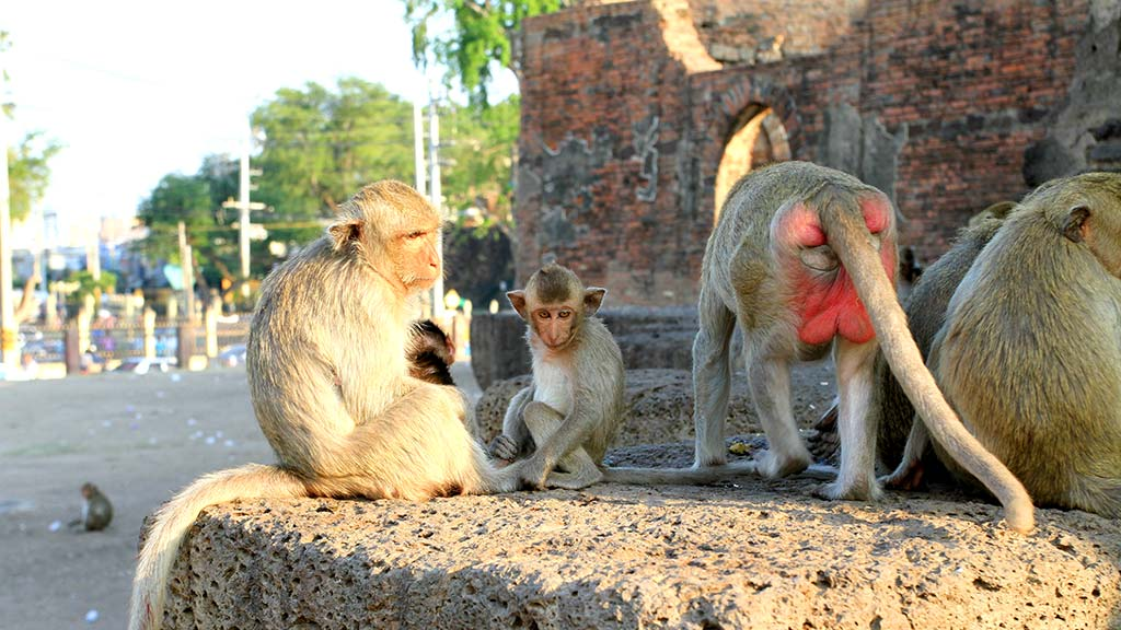Monkeys in Wat Phra Prang Sam Yod, Lopburi.