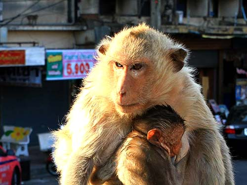Monkeys in Lopburi.