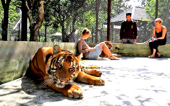 The Tiger Kingdom, Chiang Mai.