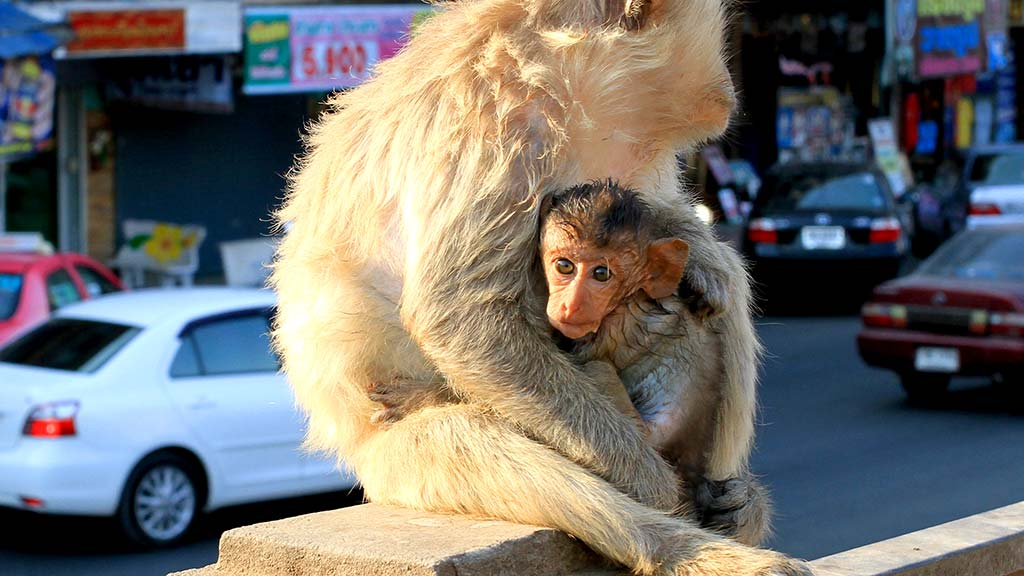 Macaque mother with her son.